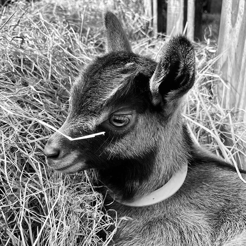 Bébé chèvre né en 2021 de la ferme de Joséphine à Sizun